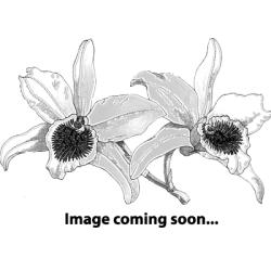 Physosiphon pubescens (Phloephila pubescens, Sarracenella pub.)