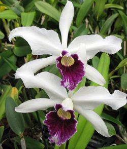 Laelia purpurata var.: Schusteriana
