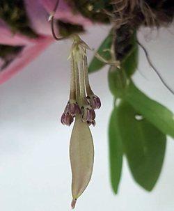 Bulbophyllum physometrum