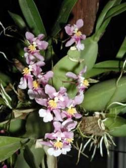 Oncidium ornitorhynchum