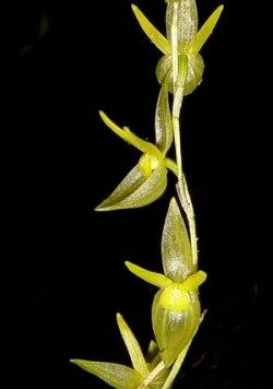 Pleurothallis spec. yellow