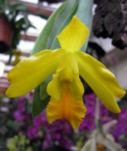 Euchile citrina (Encyclia citrina)