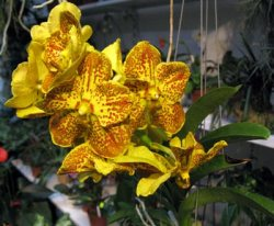 Ascocenda Suksumran Spotty ,Yellow'
