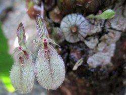 Bulbophyllum colosum
