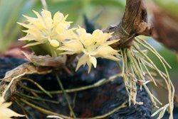 Bulbophyllum flavi spec.