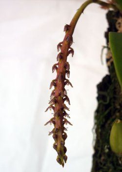 Bulbophyllum hastiferum