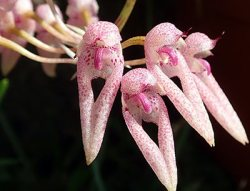 Bulbophyllum longiflorum