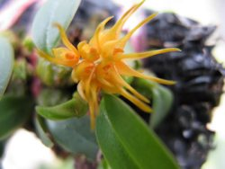 Bulbophyllum sutepense