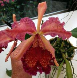 Cattleya dowiana Rosita