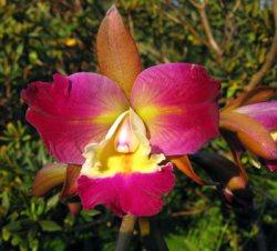 Cattleya leopoldii x Blc. Chinese Beauty
