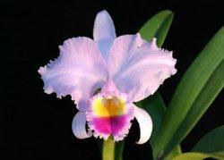 Cattleya trianae 'Burrage'