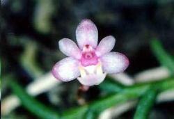 Cleisostoma scolopendrifolium