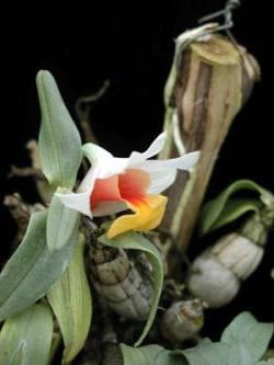 Dendrobium bellatulum