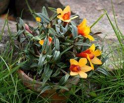 Dendrobium (cuthbertsonii x sulavesiense)x cuthbertsonii orange