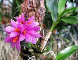 Dendrobium ,Hibici'