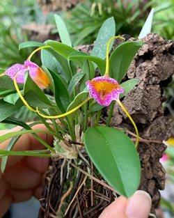 Masdevallia strobelii x glandulosa