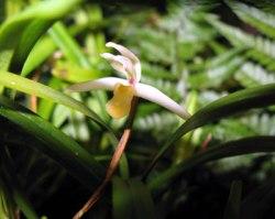 Maxillaria acuminata
