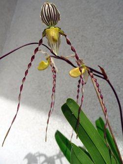 Paphiopedilum roebbelinii