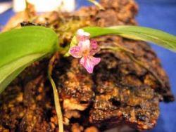 Phalaenopsis appenticulata