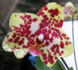 Phalaenopsis ,Simone'