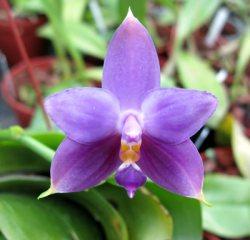 Phalaenopsis violacea var. coerulea ,Blue Indigo'