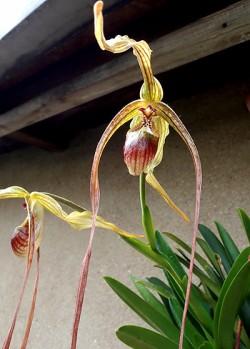 Phragmipedium caudatum var.:Warscewiczianum