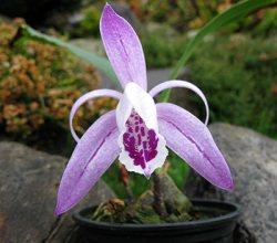 Pleione maculata var.: Vietnamense
