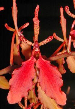 Renanthera imschootiana