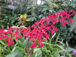 Renanthera philippinense
