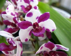 Rhynchostylis gigantea var.: ,Cartoon'