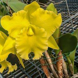 Rlc. Ta-Shiang Yellow Dragon ,Pu-Ti Gold'
