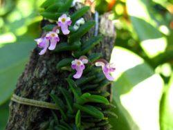 Schoenorchis scolopendria (pygmea)
