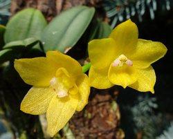 Sophronitis (Cattleya) cernuae yellow