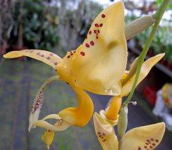 Stanhopea jenishiana