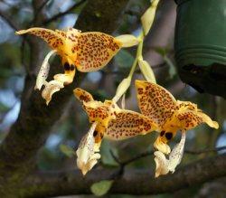 Stanhopea oculata ,Yellow'