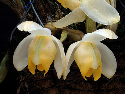 Stanhopea tricornis