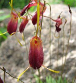 Trisetella cordeliae
