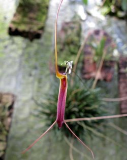 Trisetella scobina