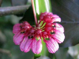 Bulbophyllum curthisii