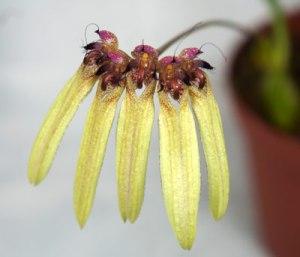 Bulbophyllum longifolium