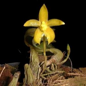 Bulbophyllum hematipes