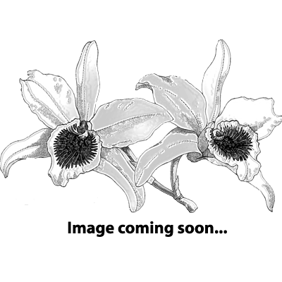 Bulbophyllum sigaldiae