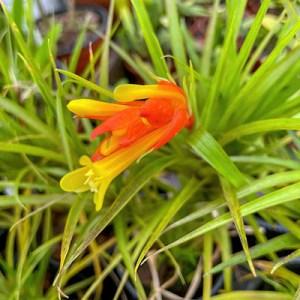 Guzmania angustifolia