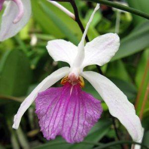 Holcoglossum kimballianum