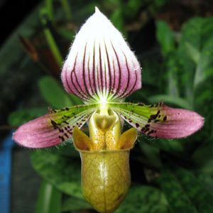 Paphiopedilum acmodontum