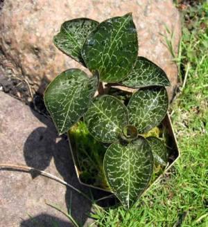 Anoectochilus formosanus