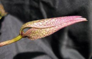 Bulbophyllum fraudolentum