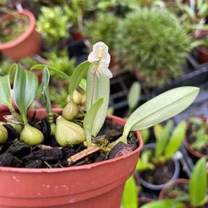Bulbophyllum newportii