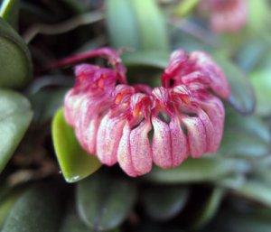 Bulbophyllum sikkimense