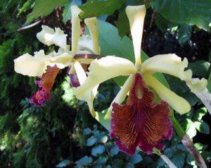 Cattleya dowiana var.: Aurea